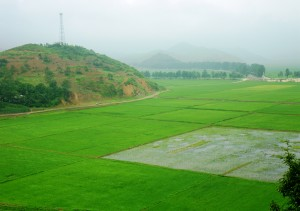 issue_images_88_1_Rice cultivation at Chonsam Cooperative Farm (July 2012)_Habib
